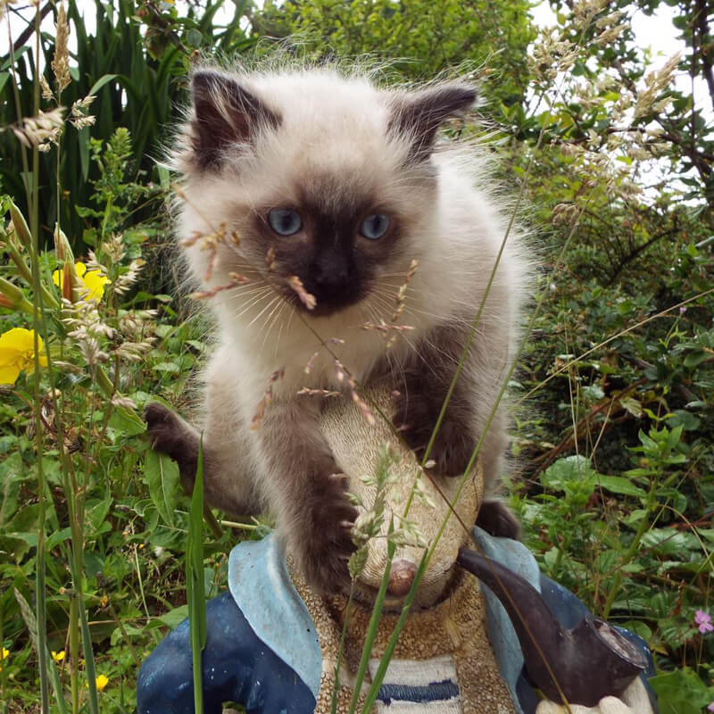 Rag Doll Cats And Kittens For Sale Ragsville